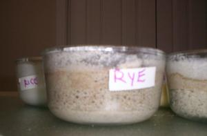 Rye and Barley (front) hav been affected in ways the Rice and Corn (back) have not